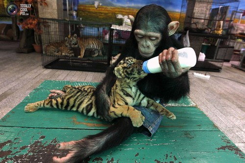 Two year old chimpanzee Do Do bottle feeds milk to Aorn