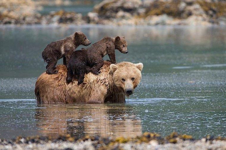 Suzi Eszterhas Alaskan brown bear mother and cubs